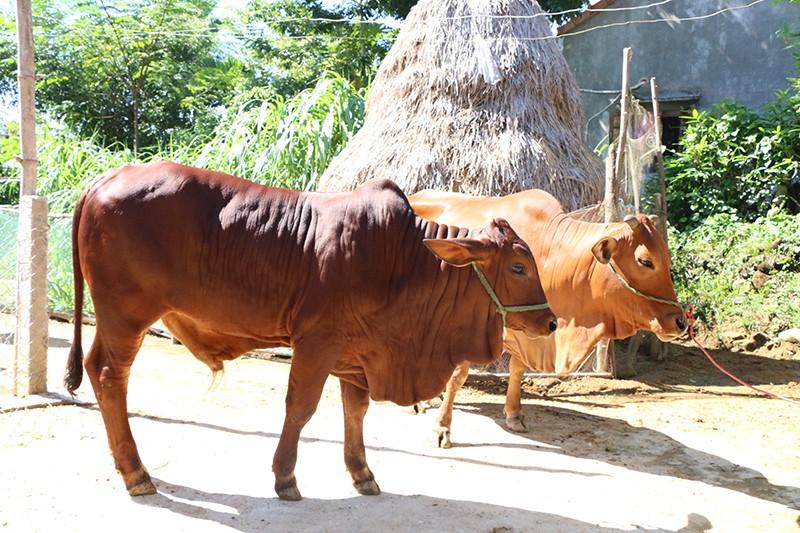 Là giải pháp thay thế kháng sinh trong chăn nuôi