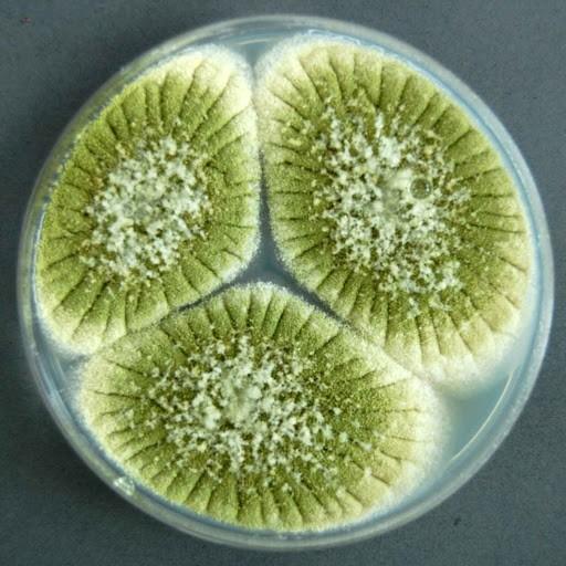 Một số loài nấm sợi thuộc chi Aspergilluscũng có chứa axit oxalic