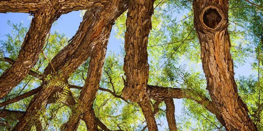 Cách nhận biết các loại gỗ quý cẩm lai
