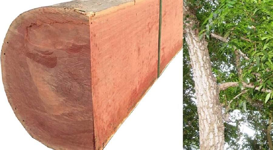 Vân gỗ xoan đào đều đẹp
