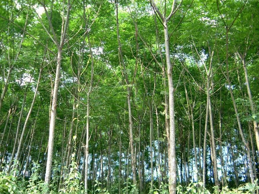 Cây gỗ xoan đào