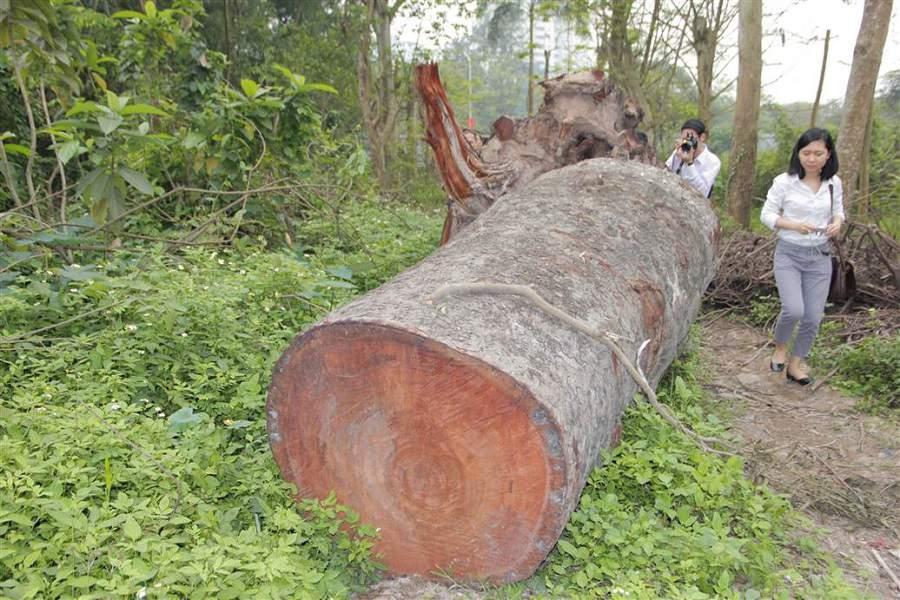 gỗ xoan đào có bị mọt không