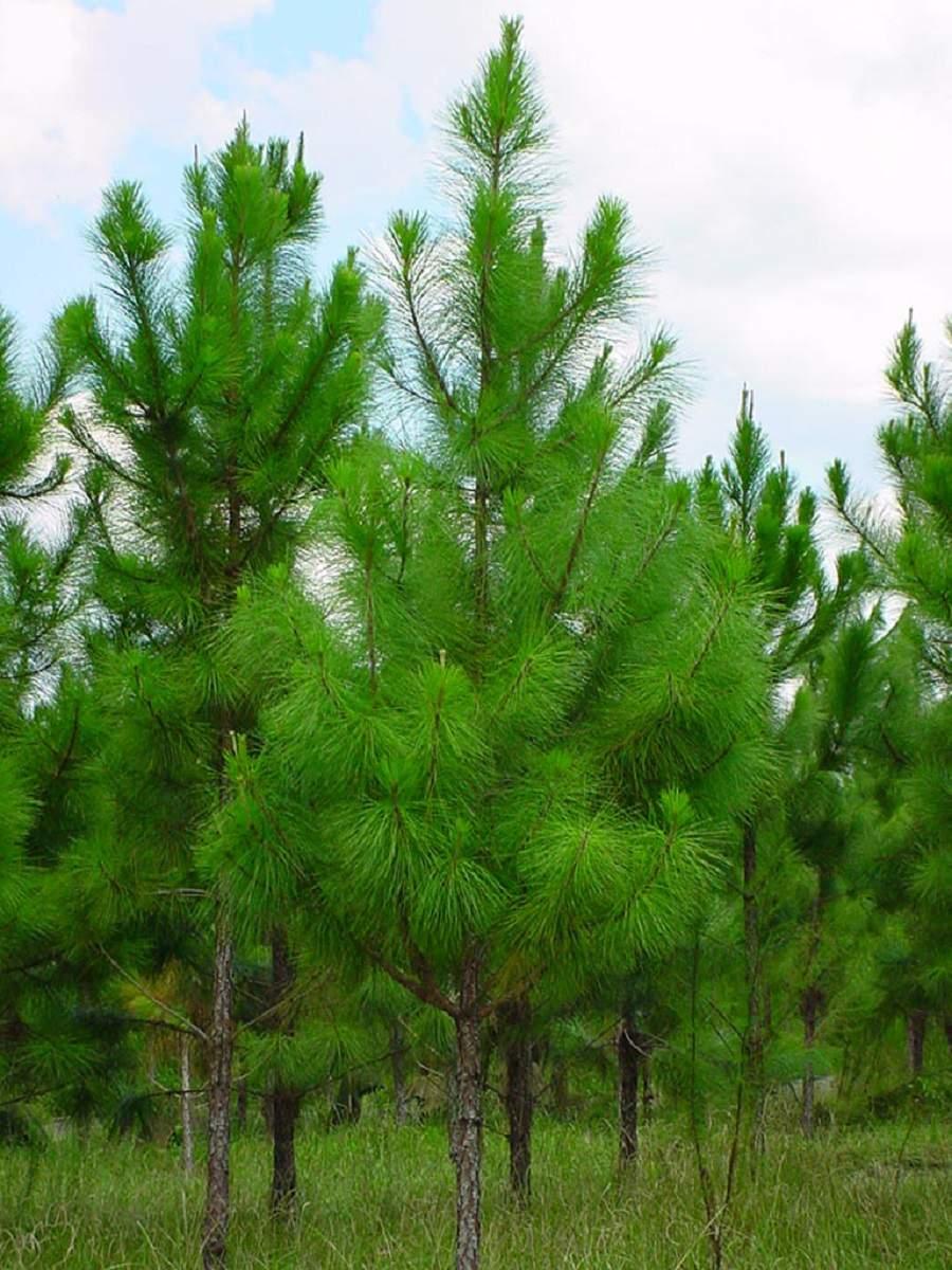 cây thông được trồng nhiều ở rừng Việt Nam