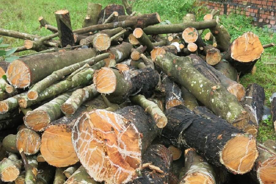Thân gỗ cao su