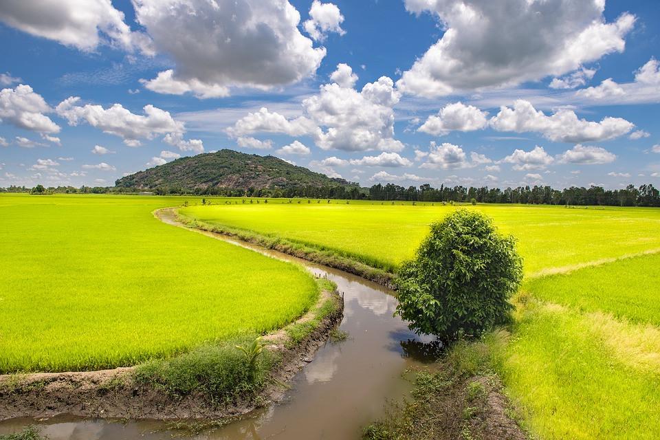 chau-doc-rice-field