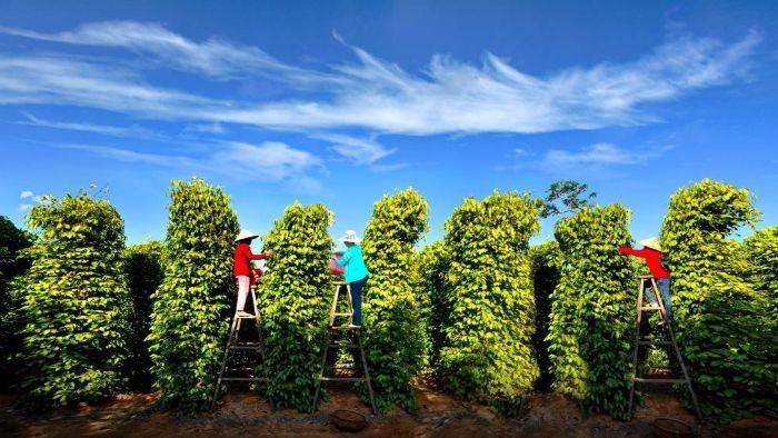 phu-quoc-pepper-farm