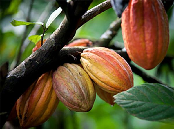 cacao-tree
