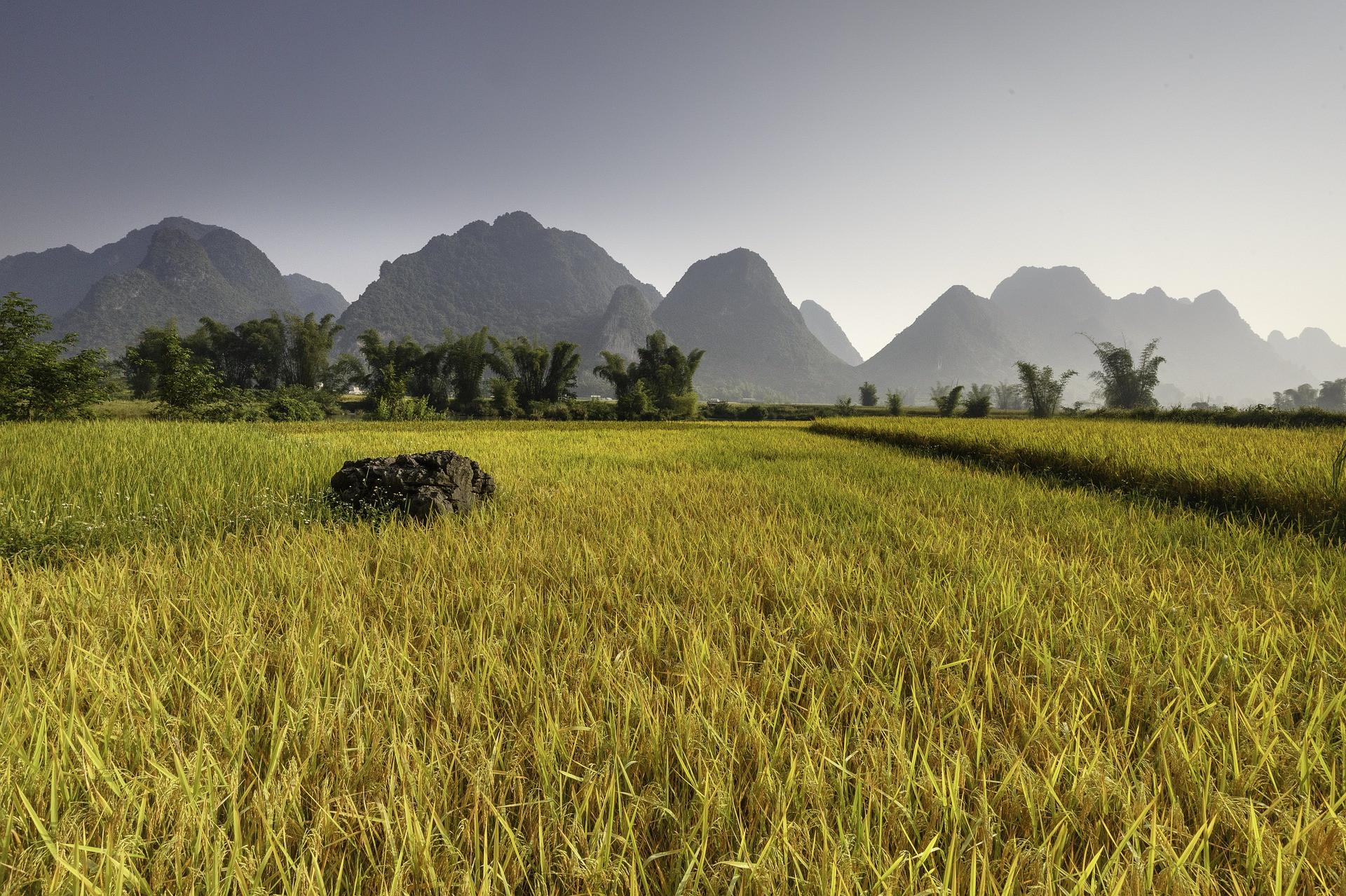 cao-bang-rice-field