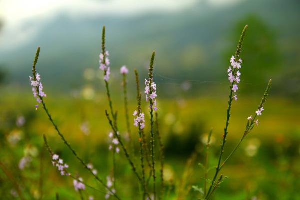 sapa-wild-flower