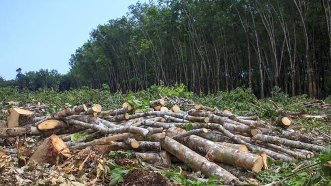Nạn phá rừng bừa bãi - mất đi lá phổi xanh của thế giới