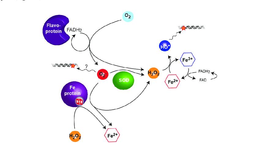 Hydrogen peroxid chuyển Fe 2+ thanh Fe 3+