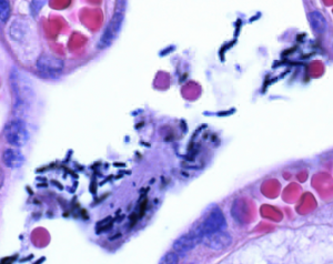 Crystal violet (C.I. 42555) for microscopy Sigma Đức