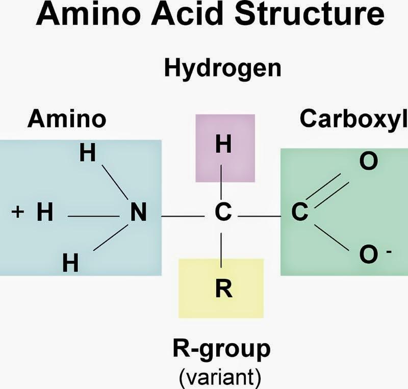 Cấu trúc phân tử của amino axit