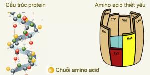 Amino axit là gì? Vai trò của amino axit đối với sức khỏe con người