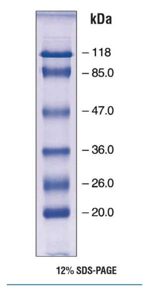EZ-Run prestained protein marker 2EA Bioreagents