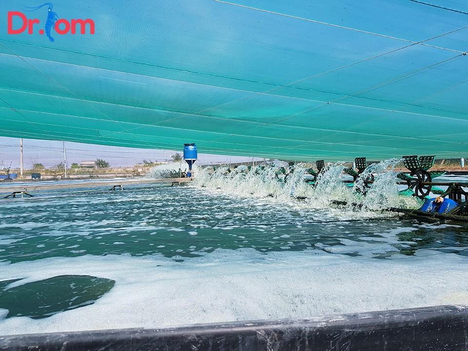Sử dụng mật rỉ đường trong nuôi tôm giúp kiểm soát các yếu tố chất lượng nước