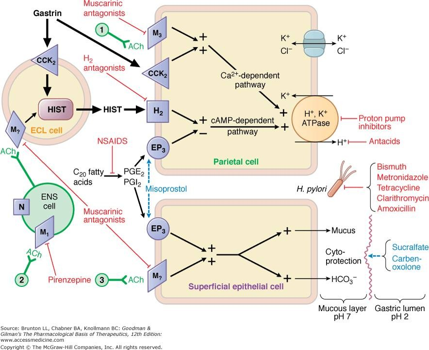 Cơ chế hình thành HCl trong dạ dày