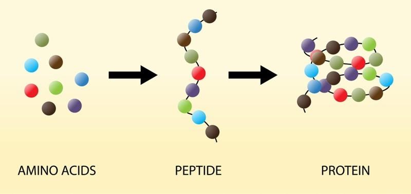 Axit amin tham gia cấu tạo nên protein