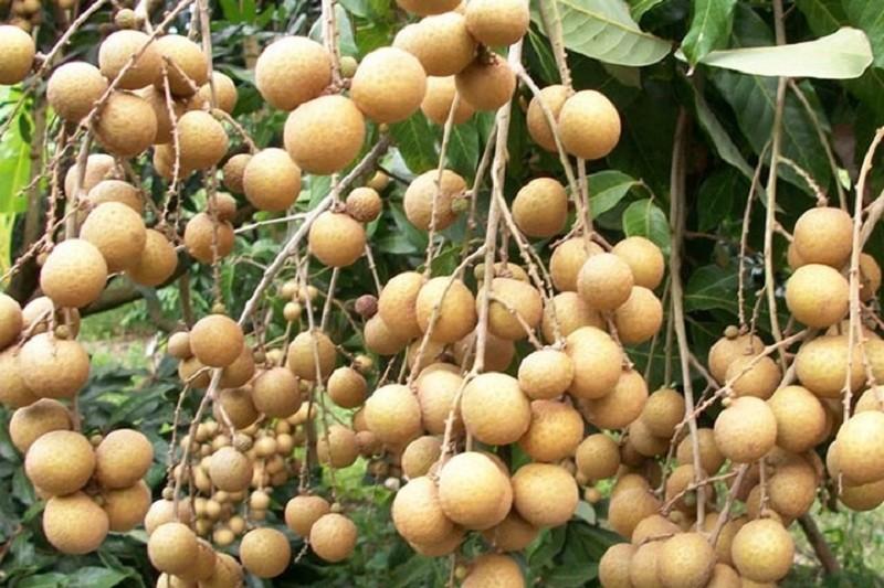 Dùng KClO3 để kích thích cây ra hoa đậu quả trong nông nghiệp